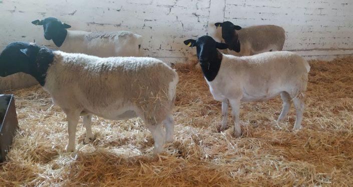 Фермеры Кеминского района Чуйской области привезли из Австралии 102 овцы породы дорпер