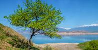 Цветущее дерево на фоне Токтогульского водохранилища. Архивное фото