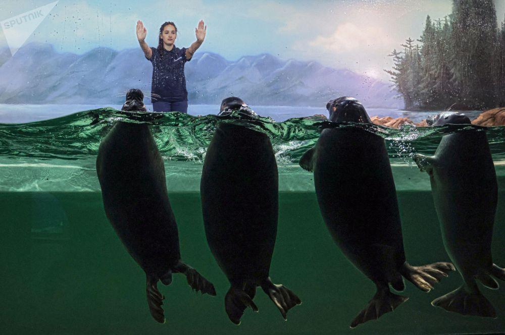 Показательные выступления байкальских нерп в вольере в Центре океанографии и морской биологии Москвариум на ВДНХ (Россия)