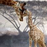 Жираф с детенышем в вольере зоопарка Zoo de la Fleche в городе Ле-Мана (Франция). 27 мая 2021 года.