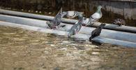 Голуби пьют воду из фонтана на площади Ала-Тоо