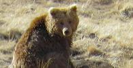 Медвежонок вскопал нору, достал сурка и съел. Учуяв человека, зверь сбежал. Такое не часто видит даже егеря, постоянно патрулирующие заповедник.