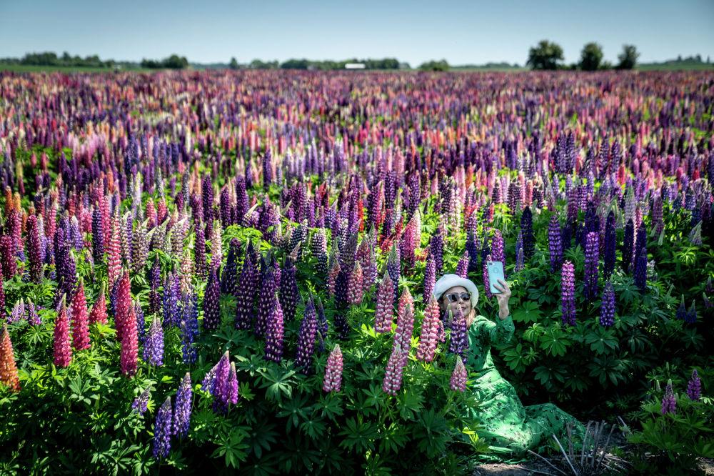 Женщина делает селфи в поле люпинов на острове Лолланд в Дании.