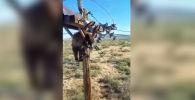 В одном из районов американского штата Аризона молодой медведь забрался на опору линии электропередачи и застрял.