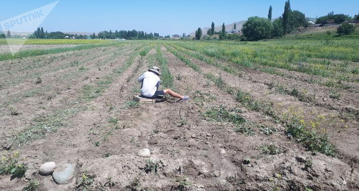 Фермер на поле в Аламудунском районе Чуйской области