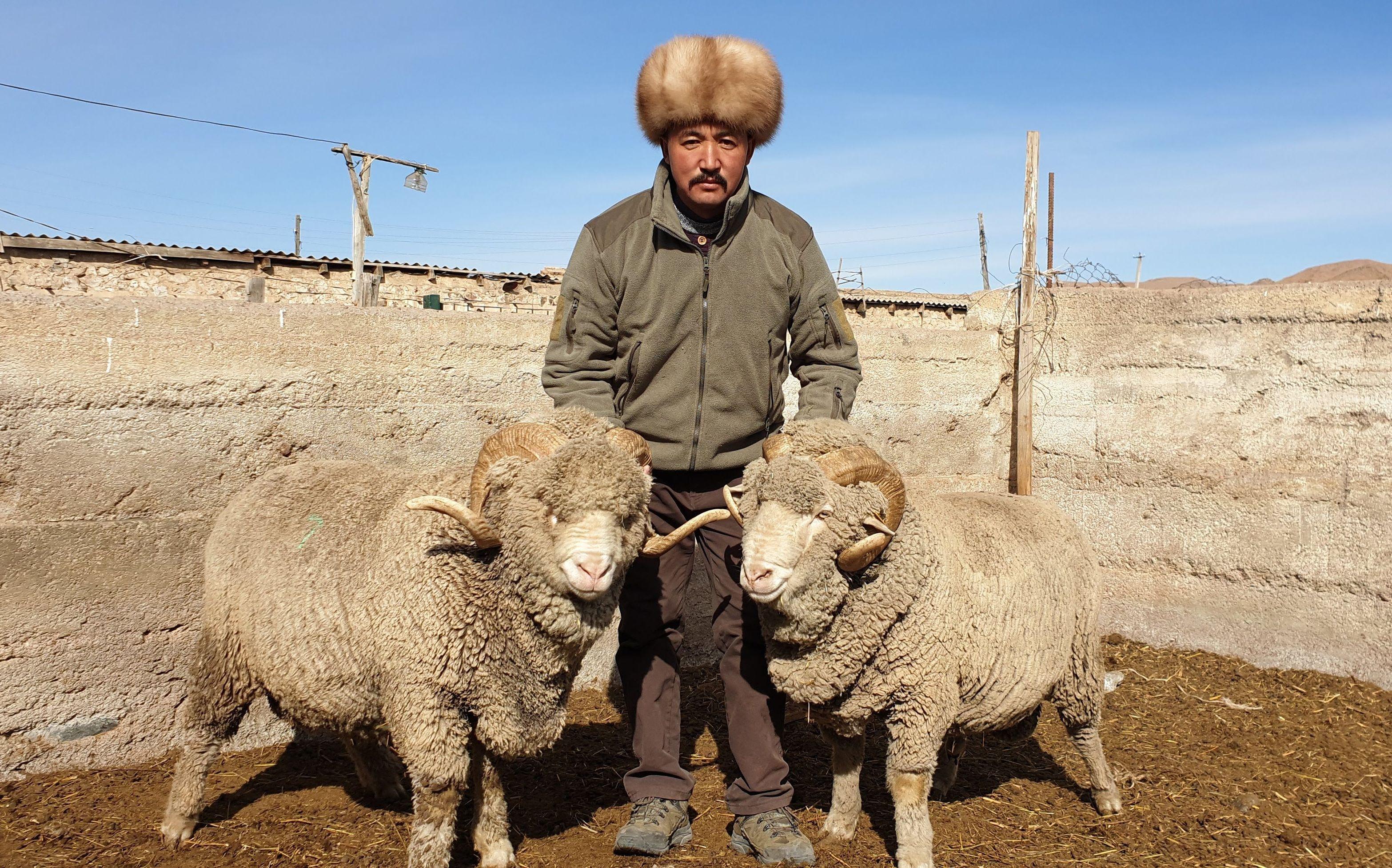 Животновод из Тонского района Иссык-Кульской области Баатырбек Акматов с овцами породы Меринос