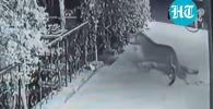 На видео попало, как леопард схватил спавшую на крыльце хозяйского дома собаку и утащил ее в темень.
