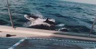 В Гибралтарском проливе около 30 касаток атаковали яхту с экипажем на борту и повредили руль направления.