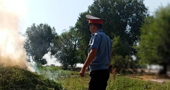 Выявили и уничтожили 3 740 килограммов дикорастущей конопли в Аламудунском районе в Бишкек. 09 июля 2021 года