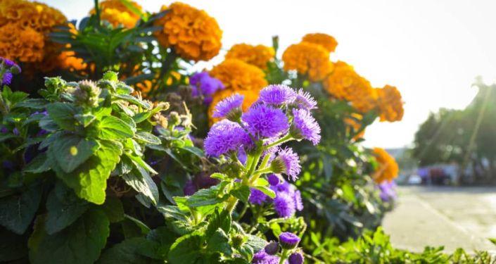Сотрудники муниципального предприятия (МП) Бишкекзеленхоз полностью завершили посадку однолетних цветов в Бишкеке