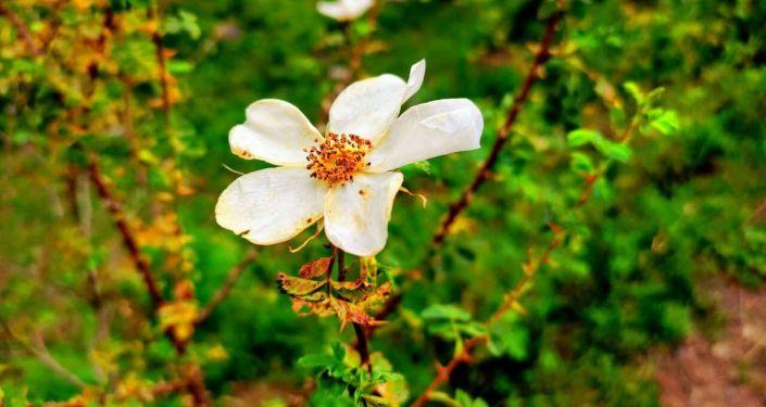 Цветы на пастбище Сары-Ой в Алайском районе, которое стало местом внутреннего туризма в Ошской области