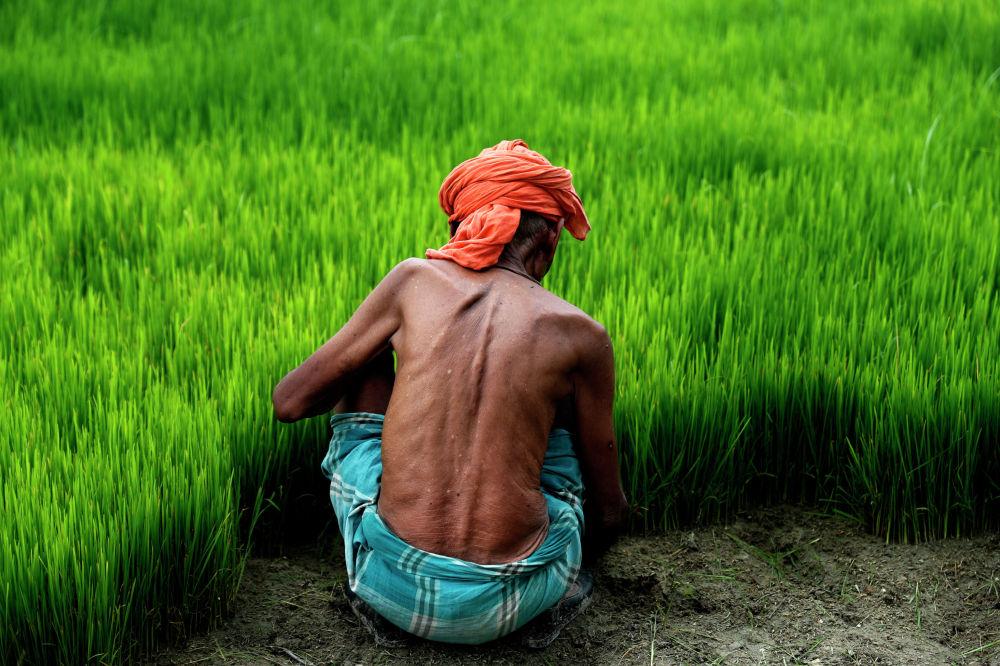 Индиянын Тиури кыштагында шалыда (күрүч)  отурган фермер