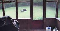 АКШнын Вермонт штатынын тургуну Женн Саржент короосунда видеокөзөмөлгө түшүп калган өзгөчө окуянын видеосун жарыялады. Анда кадимки аюу менен овчарканын ары-бери чуркап, ойноп жатканын көрүүгө болот.
