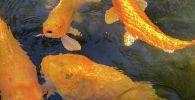 Золотые рыбки в водоеме. Архивное фото