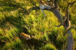 Кадры сделаны в африканском парке Серенгети. Самка леопарда привела своих детенышей к большому дереву с раскидистой кроной, чтобы научить их взбираться по ветвям.