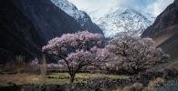 Цветение абрикоса в Баткенской области