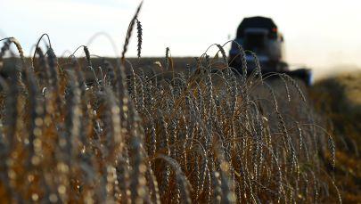 Сбор урожая пшеницы. Архивное фото