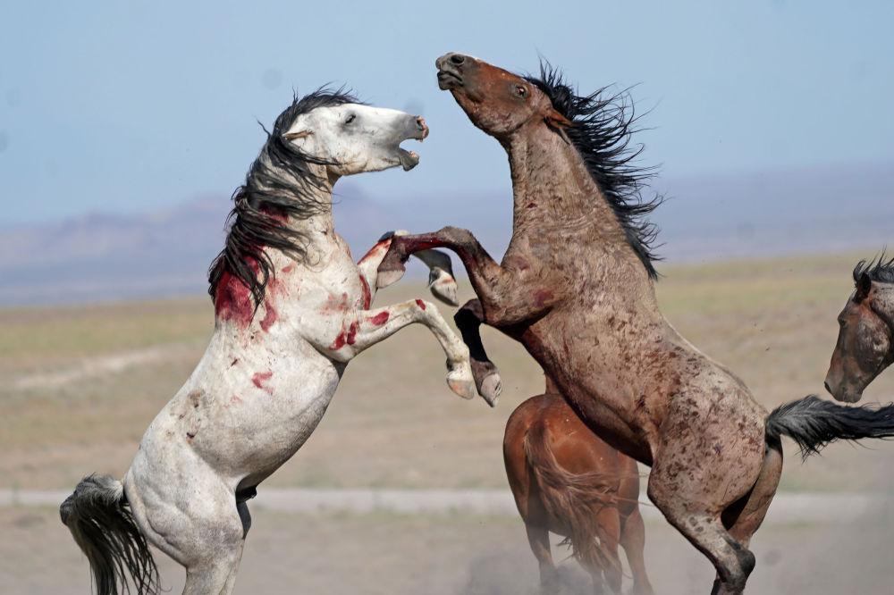 Столкновение диких лошадей в штате Юта, США. 16 июля 2021 года