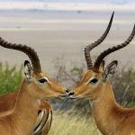 Антилопы в национальном заповеднике Масаи Мара в Кении. 16 июля 2021 года