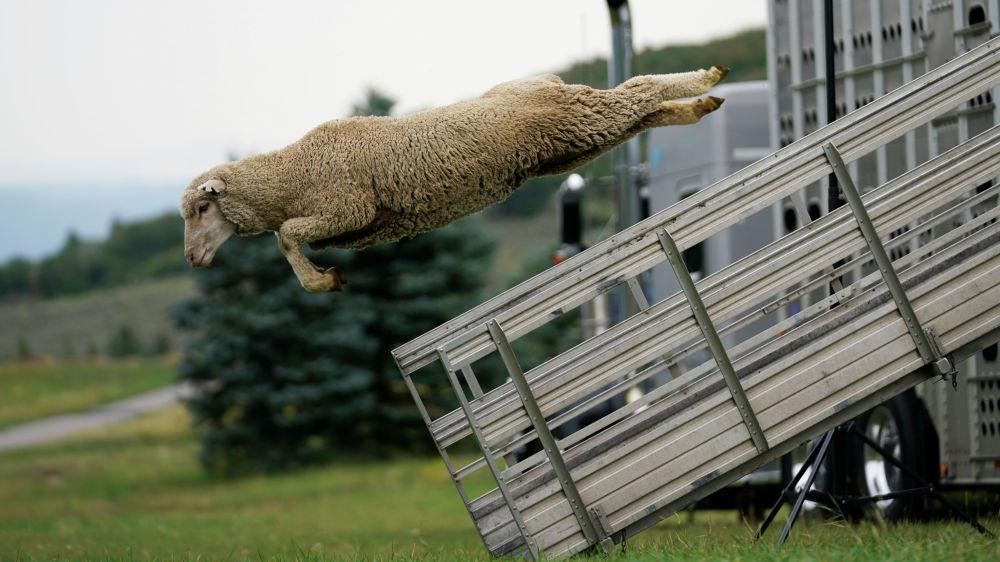 АКШнын Юта штатында Койчу иттин сынагы (Испытание овчарки) фестивалы жыйынтыкталды. Бул жарыш мал кайтарган иттердин оторду башкарууну үйрөнгөнүн баалаган мелдеш болуп саналат