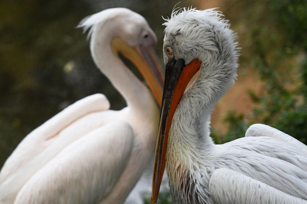 Москва зоопаркындагы пеликан куштары