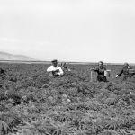 Союз жылдары республиканын талааларында кара куурай өндүрүштүк багытта өстүрүлгөн. Сүрөттө жумушчулар кара куурайга селитра чачып жүрөт. Кемин району, 1957-жыл.