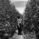 Бийиктиги киши боюнан ашкан кара куурай. Сокулук району, 1954-жыл.