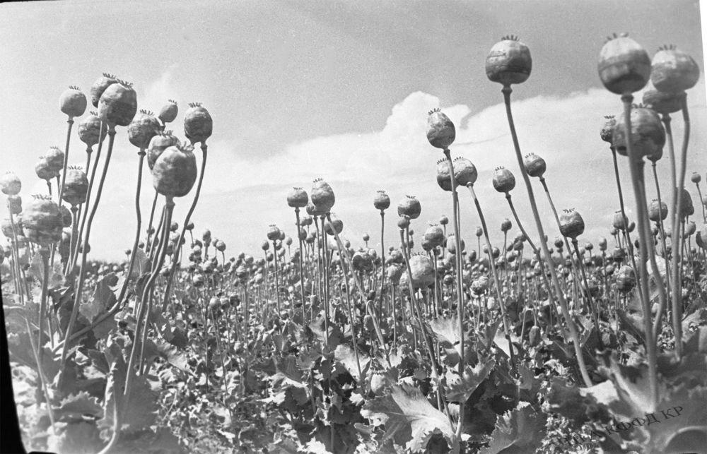 Кыргыз ССРинде 84 чарба апийим өстүрүү менен алектенген