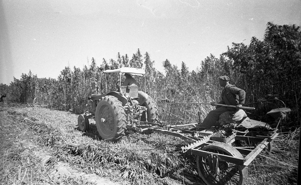 Кара куурайды чаап жаткан трактор. Аламүдүн району, 1964-жыл.