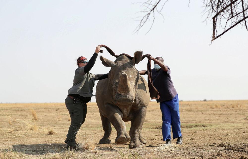 Ветеринарлар кериктин мүйүзүн аралаар алдында анын көзүн таңып жатат. Сүрөт Түштүк Африка Республикасындагы ири жеке корукта тартылган. Алардын мүйүзүн жаныбарларды браконьерлердин кол салуусунан сактоо үчүн алып салышат