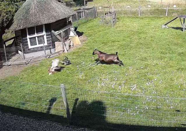 Ястреб налетел на курочку, но ей на помощь прибежали петух с козлом. Это попало на камеру наблюдения.