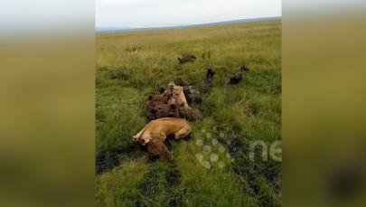 Видео снято в африканском парке Масаи-Мара (Кения). Львиный прайд напал на гиен — кошки легко одолели противников и даже убили одного детеныша.