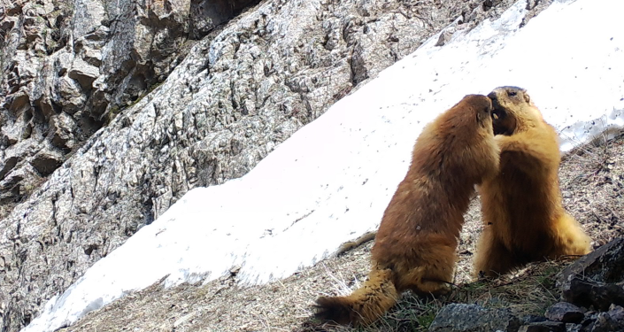 Сурки попали на фотоловушку в одном из заповедников в Баткенской области