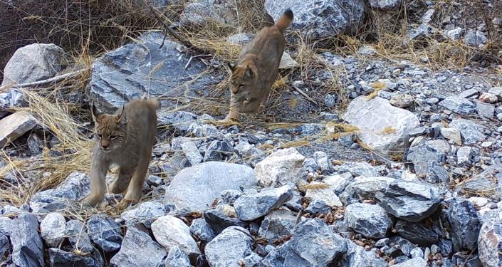 Рысята попали на фотоловушку в одном из заповедников в Баткенской области
