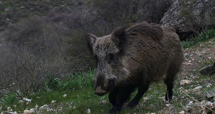 Кабан попал на фотоловушку в одном из заповедников в Баткенской области