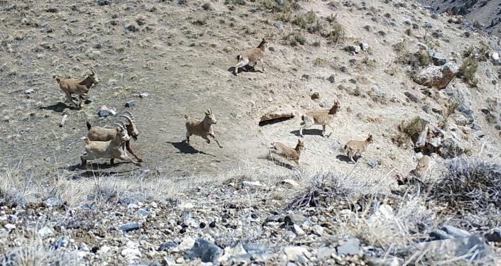 Горные козлы попали на фотоловушку в одном из заповедников в Баткенской области