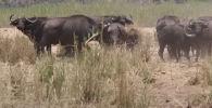 Покалеченный буйвол едва не стал жертвой львиц, но сородичам удалось отбить его. Туристы запечатлели это на видео.