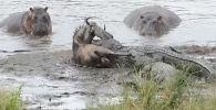 В национальном парке Крюгера (ЮАР) бегемоты спасли антилопу гну от стаи крокодилов. Произошедшее попало на видео.
