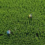 Фермерлер Чандаули (Уттар-Прадеш штаты, Индия) районундагы шалы талаасында пестицид чачып жүрүшөт