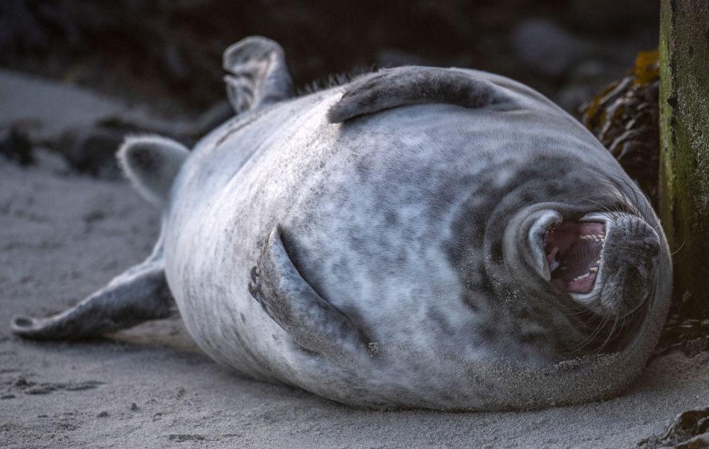 Түндүк деңиздеги (Германия) Гельголанд аралынын пляжында жаткан боз тюлень. Аталган жаныбарлар ноябрдан тарта январга чейин ушул жерде төлдөйт. Үч жумадан кийин чоңдор кичинекейлерди кароосуз калтырып, тагдырын өз колуна тапшырат