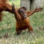 Кичинекей орангутан. Pairi Daiza зоопаркындагы (Бельгия) ойноп жаткан эне-бала