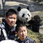 Бамбук жеп жаткан эркек панда. Токидогу Уэно зоопаркынан тартылган сүрөт