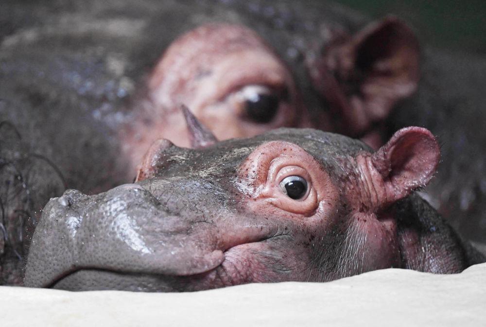 Таң калып же бир нерсеге кызыгып... Бегемоттун Хэллоуин аттуу баласы Карлсруэ (Германия) зоопаркында