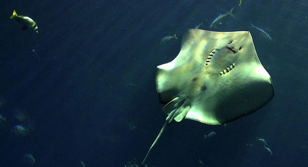 Скат в аквариуме. Архивное фото