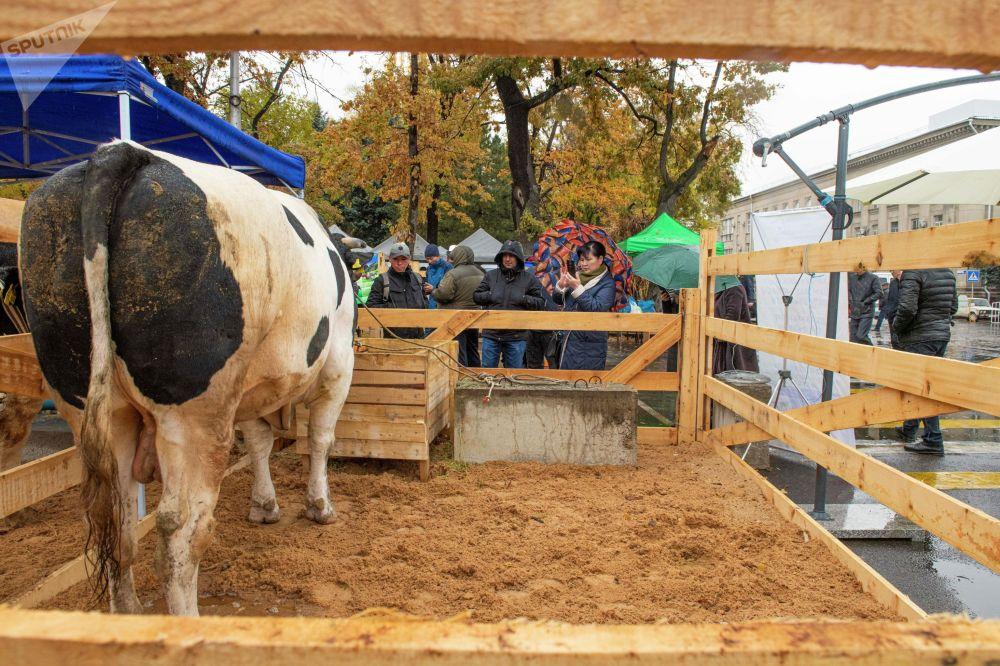 Бык по кличке Зевс весом 1,4 тонны. Фермеру из Чуйской области предложили за него 500 тысяч сомов, он отказался.