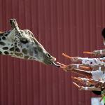 Посетители угощают жирафа морковью в городском зоопарке Монтеррея, Мексика.21 октября 2021 года