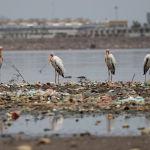 Молочные аисты стоят среди мусора в Джакартском заливе в Джакарте, Индонезия. 19 октября 2021 года