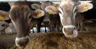 Крупный рогатый скот. Архив