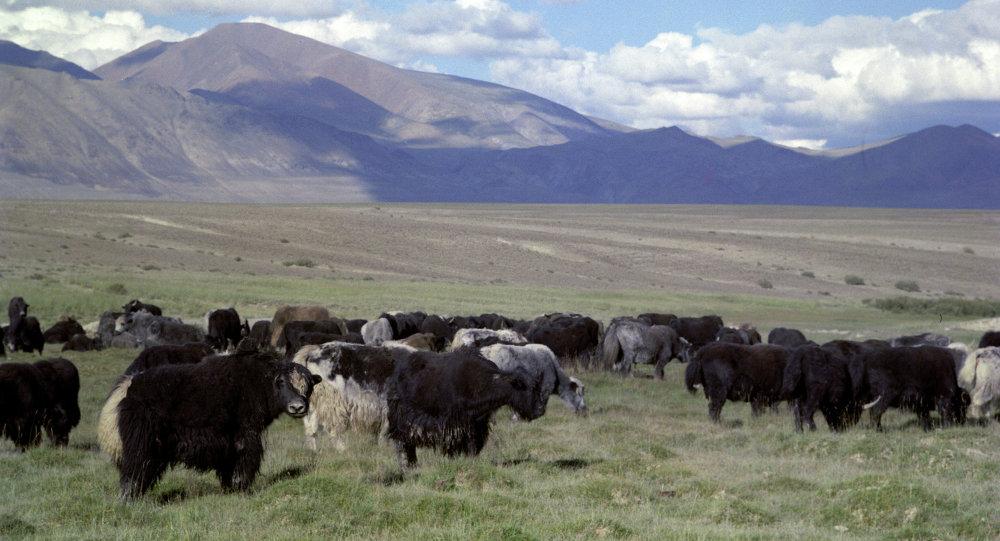 Яки на пастбище высокогорной долины