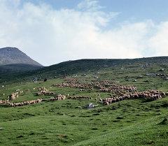 Архив: Отара овец